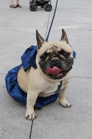 030-katia-bonaventura-photojournalism-bulldog-bastardino